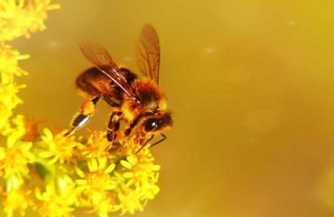 Breeding Bees.